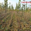 苹果苗,红富士苹果树苗,苹果树苗新品种