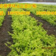 陕西营养钵金叶榆、容器丛生金叶榆图片