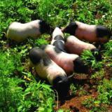 巴马猪哪里有卖、价格、批发价【南宁市港香腊肠店】