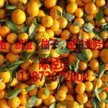 供应优质湖南中熟晚熟蜜桔无公害柑桔基地园区优价直供个大皮薄