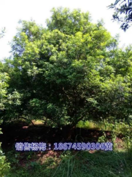 供应冠3米杨梅树,