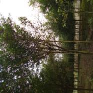 重庆苗木基地出售小叶榕图片