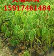 广州大腹木棉小苗图片