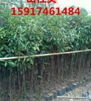 供应用于绿化造林的广东哪里有50公分高山杜英树苗,广州60公分高山杜英种苗报价,南方70公分高山杜英袋苗便宜价格