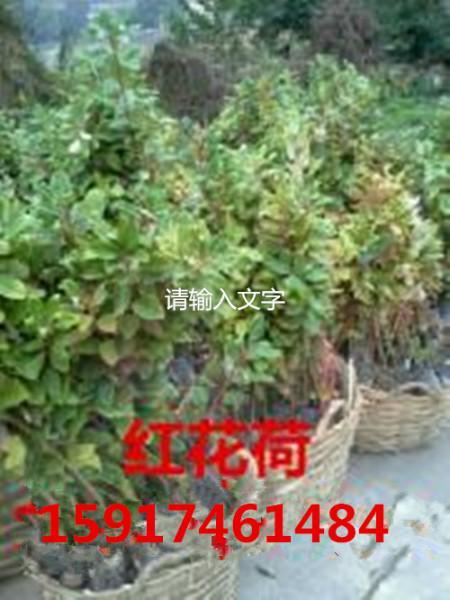 供应用于绿化造林的南方红花荷树苗供应商批发价格,广东红花荷种苗批发价,红花荷小苗便宜出售价格,红花荷袋苗批发商
