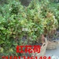 供应红花荷种苗便宜报价,南方红花荷小苗价格,广州红花荷袋苗批发商价钱