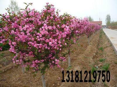 供应山东北美海棠苗1-3公分北美海棠苗