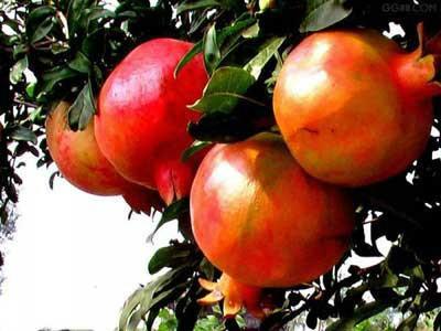 供应泰山红石榴苗1-5公分泰山红石榴树