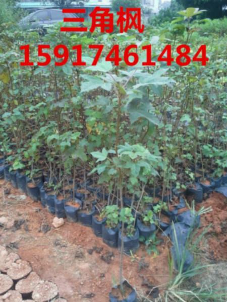 供应广州哪里有枫香小苗,广州枫香种苗基地,广州哪里的枫香袋苗最便宜