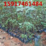 供应用于绿化造林的广东30公分高三角枫树苗哪里有,广州40公分高三角枫袋苗供货商,南方50公分高三角枫种苗批发报价