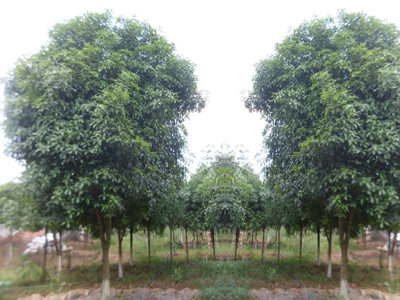 桂花树鐱图片大全