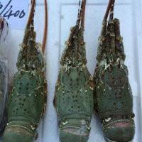 供应进口印尼小青龙虾 图片 效果图