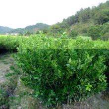 供应皇帝柑种苗,皇帝柑种苗批发,广东皇帝柑种苗价格图片