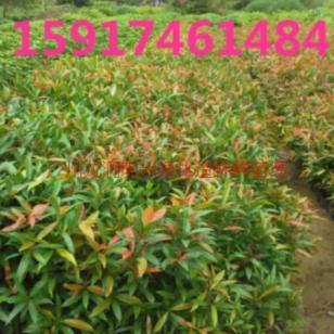 广州50公分高红车小苗供应商价格图片