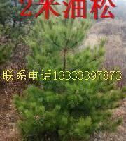 油松造林苗哪里有优惠
