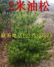 供应油松造林苗哪里有优惠,低价出售造林油松,便宜批发造林油松,批发