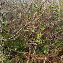 供应马路绿化垂丝海棠树苗,红梅,桂花,紫薇,红枫图片