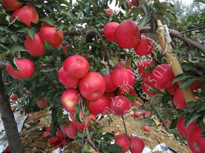 供应潍坊烟富0苹果苗,潍坊烟富0苹果苗批发,潍坊烟富0苹果苗供货商