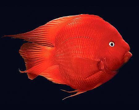 观赏鱼之家锦鲤鱼病况红肿,烂肉,疥疮,用什么药,怎么