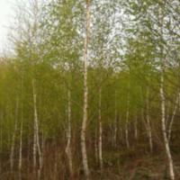 出售白桦树