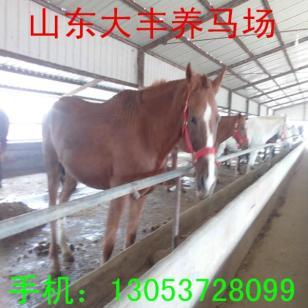 南京养马基地伊利马蒙古马矮马销售图片