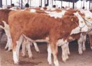 供应山西公牛价格合理