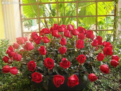 玫瑰花提取物图片大全图片