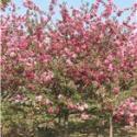甜茶杜梨小水苗2-7公分海棠苗图片