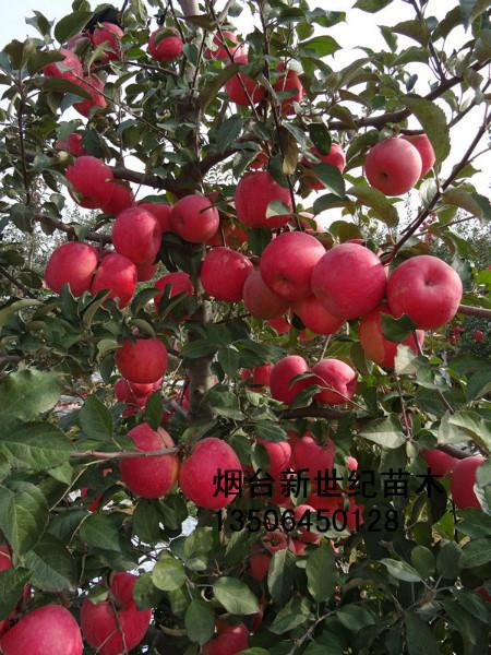 供应牟平高粱烟富0苹果苗,高粱烟富0苹果苗首选,高粱烟富0苹果销售