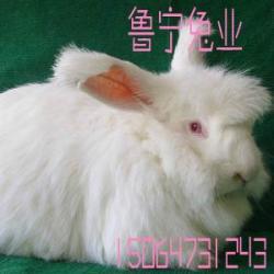 供應長毛兔剪毛周期江蘇省南京長毛兔種兔價格