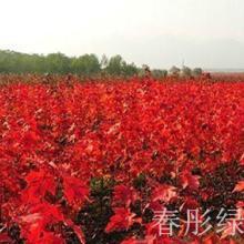 供应傲立枝头的红点红枫图片