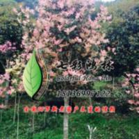 红豆杉紫科