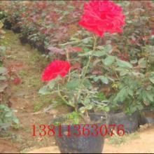供应月季花 品种月季 大花月季 丰花月季 藤本月季 蔷薇月季 月季花批发
