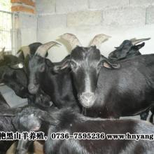 供应生产羊场基地的黑山羊母羊下羔后应注意什么如何产后羊的管理要点批发