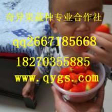 供应优质高效益水果种子红参果