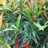 供应用于绿化种苗 造林苗的广州红车苗