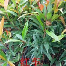 供应用于绿化的广东40公分高红锥小苗供应商价格,广州30公分高红锥袋苗供应商,广东50公分高红锥种苗报价,南方红锥批发价