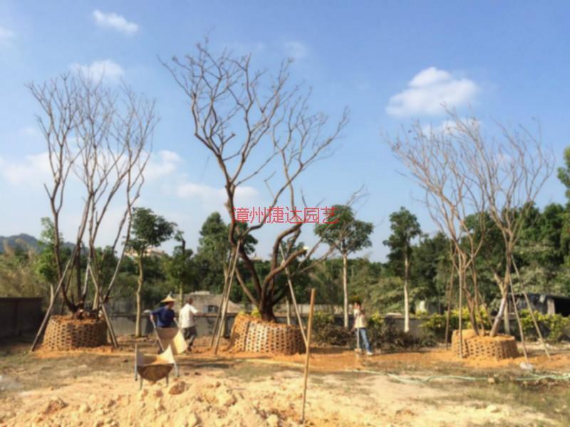 供应福建朴树种植园,福建朴树种植基地,福建朴树批发