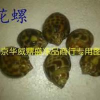 供应进口泰国花螺