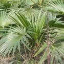杆高2-1-3.5米精品蒲葵苗圃图片