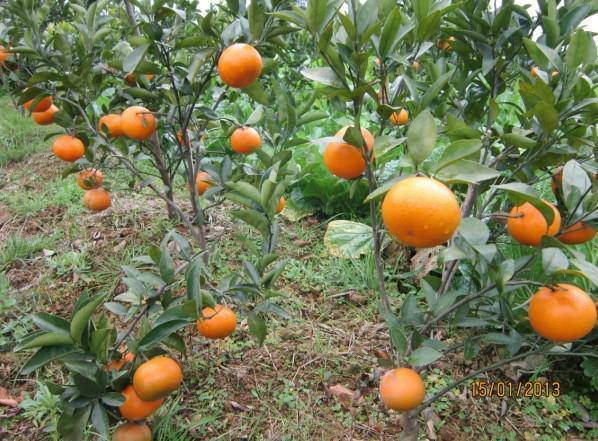 供应优质沃柑苗价格,优质沃柑苗批发价格