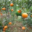 优质沃柑苗图片
