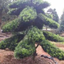 湖南罗汉松苗木种植基地价格供应商哪里有多少钱批发