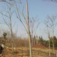 黄山栾树胸径12公分胸径15公分图片