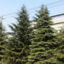 供应雪松苗木种植,雪松苗木批发价,优质雪松苗木批发