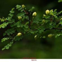 供应蔷薇工程苗,围墙护坡绿化蔷薇工程苗图片