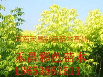 供应纯正金叶复叶槭_湖北纯正金叶复叶槭_洛阳纯正金叶复叶槭