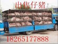供应仔猪基地/山东三元仔猪小猪价格/今日小猪多钱一斤批发