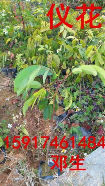 供应用于绿化造林的南方30公分高仪花树苗便宜报价,广东40公分高仪花种苗供货商,仪花供应商,50公分高仪花批发价
