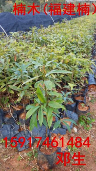 供应用于绿化造林的南方60公分高楠木树苗便宜价格,广东70公分高楠木种苗报价,广州80公分高楠木树苗便宜批发商